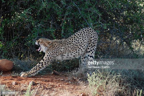 Cheetah Stretching While Yawning Against Trees In Forest