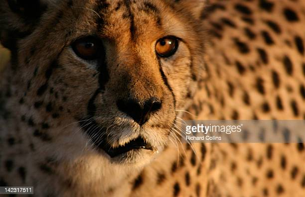 Cheetah, up close
