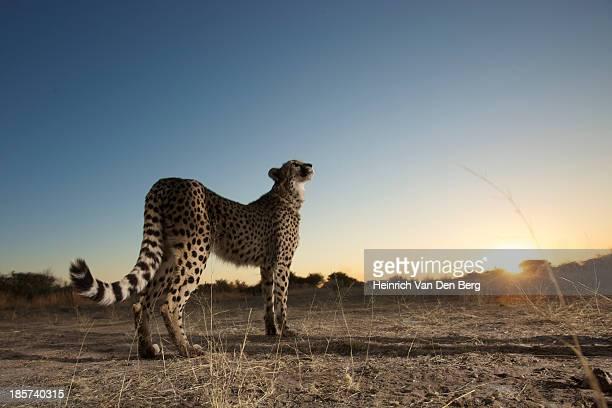 A Cheetah walking close to the camera.