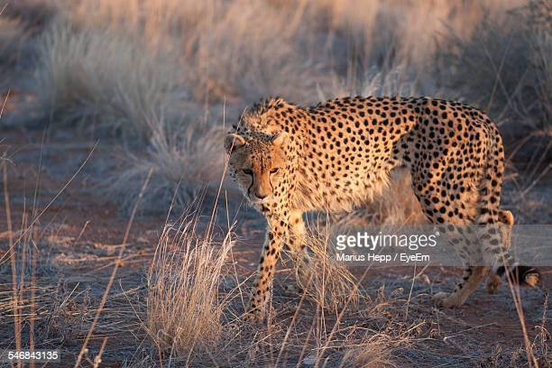 Cheetah Walking In Forest