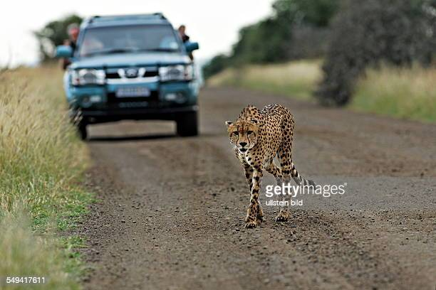 Cheetah walking in front of a car on a dirt road Kruger National Park South Africa