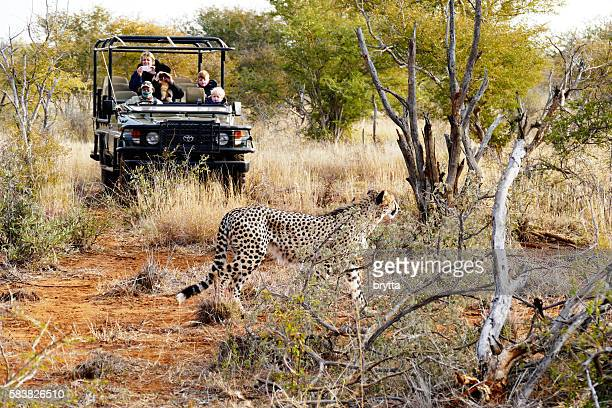 Cheetah walking in front of jeep with tourists,South Africa