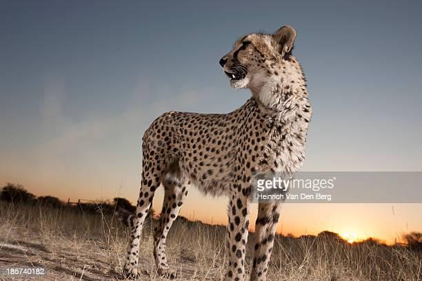 A Cheetah walking through the grass.