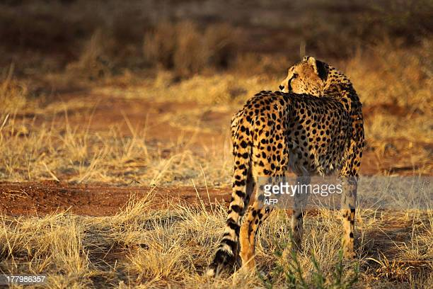 A cheetah walks at The Cheetah Conservation Fund center in Otjiwarongo Namibia on August 13 2013 The CCF started breeding Anatolian livestock dogs to...