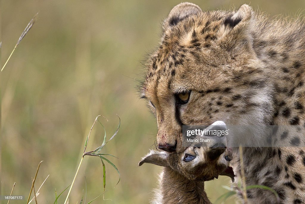 Cheetah with a Thomson's Gazelle kill. : Stock Photo