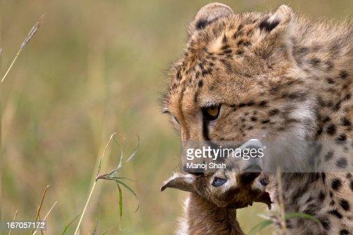 Cheetah with a Thomson's Gazelle kill. : Stock Photo