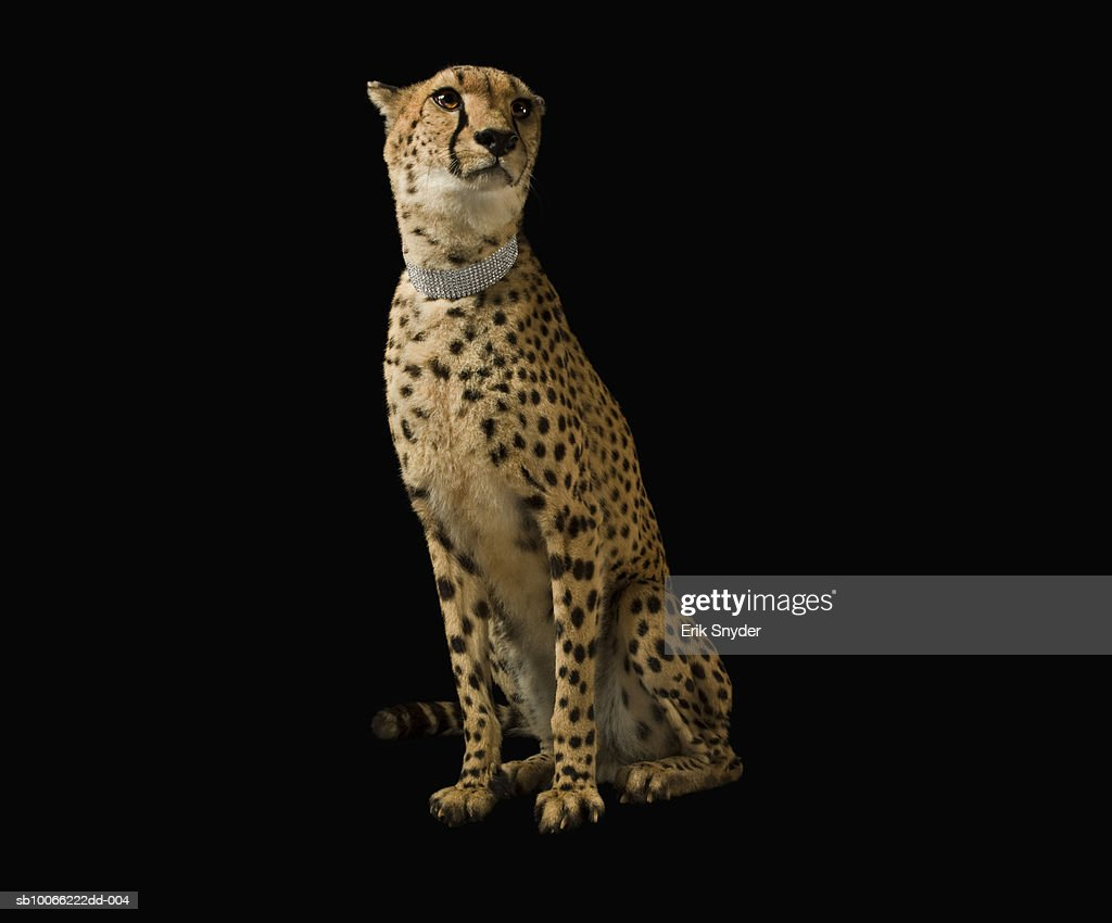 Cheetah with diamond collar on black background : Stock Photo