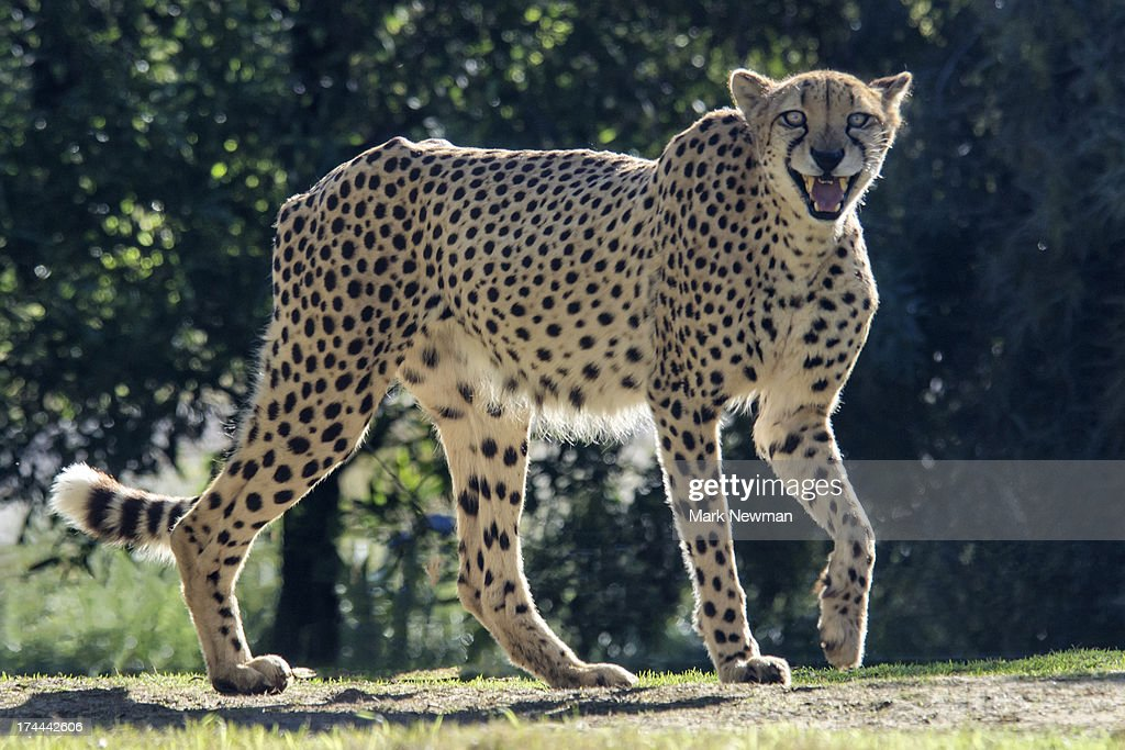 Cheetah with teeth showing : Stock Photo