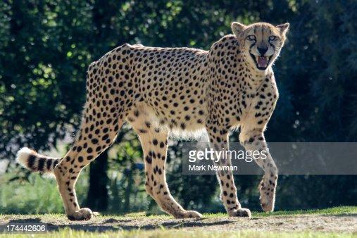 Cheetah with teeth showing : Stock Photo