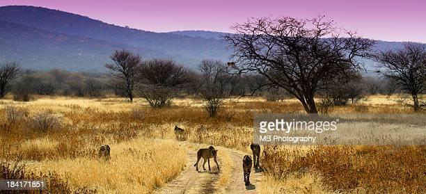 Cheetahs Approaching