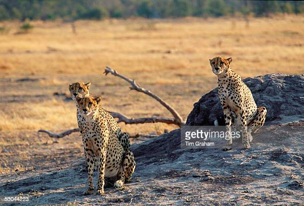 Cheetahs in Moremi National Park Botswana