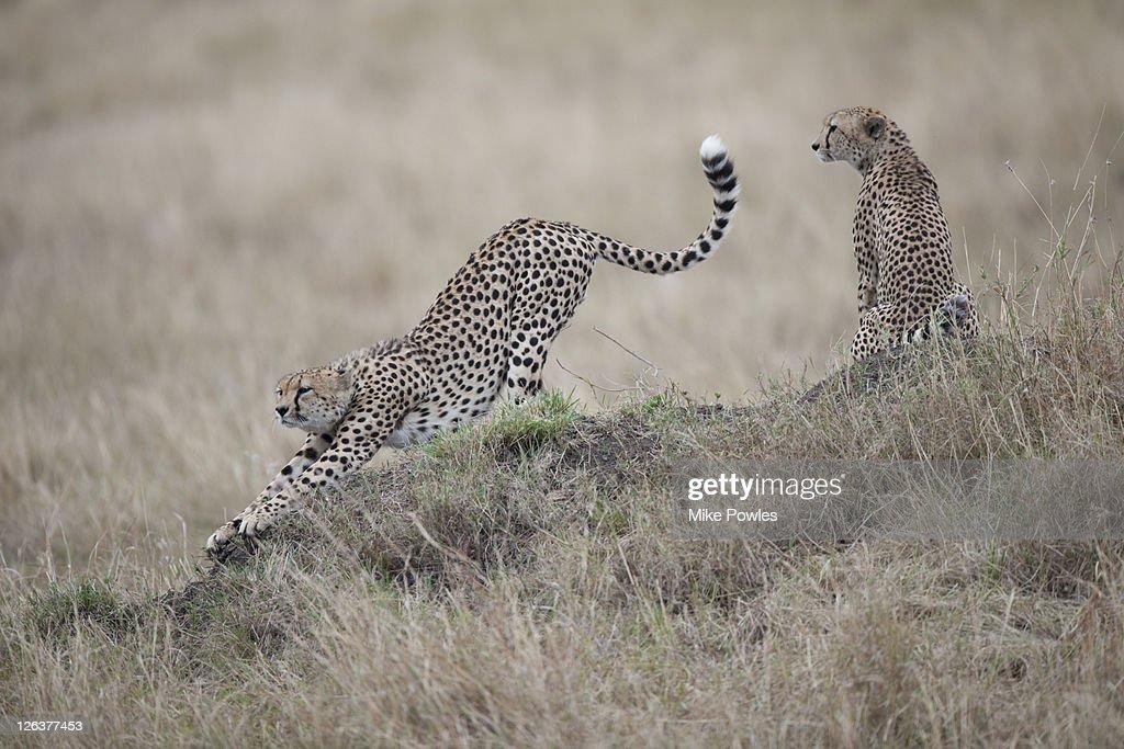 Cheetahs (Acinonyx Jubatus) in savannah with male stretching, Masai Mara, Kenya, Africa : Stock Photo
