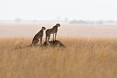 Two cheetahs on a termite mound watching for antelopes. Hunting behavior in Africa.