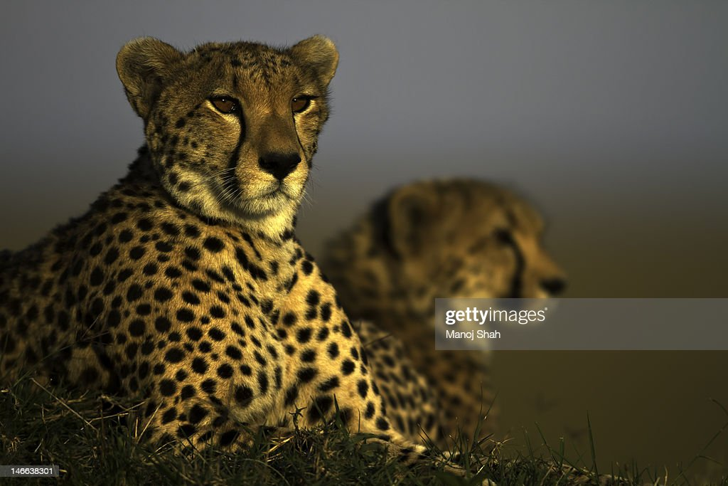 Cheetahs : Stock Photo
