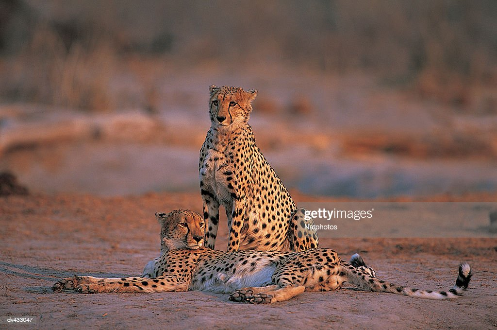Cheetahs (Acinonyx jubatus) : Stock Photo