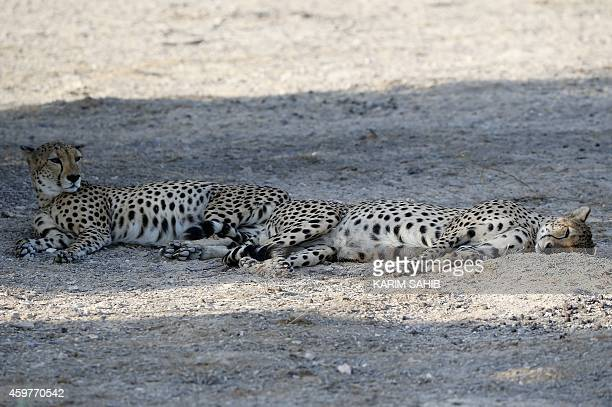 Cheetahs rest in the shade on Sir Bani Yas Island one of the largest natural islands in the United Arab Emirates on November 27 2014 The 87square...
