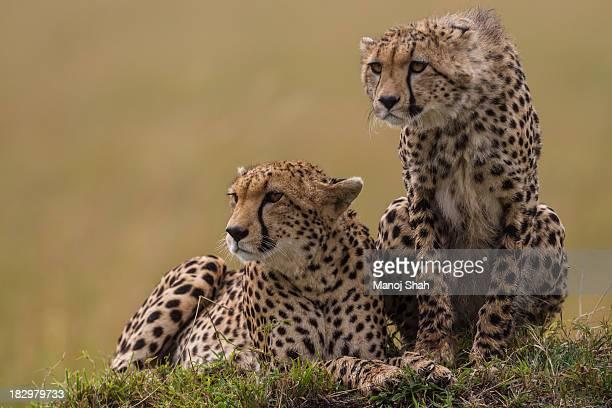 Cheetahs scanning the savanna for prey