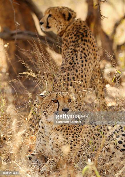 Cheetahs sit in the shade under a tree on July 20 2010 in the Edeni Game Reserve South Africa Edeni is a 21000 acre wilderness area with an abundance...