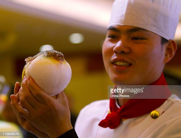 A chef displays an artificialbred globefish at a farm of Zhongyang Group on March 26 2011 in Haian of Jiangsu Province China The edible Globefish...
