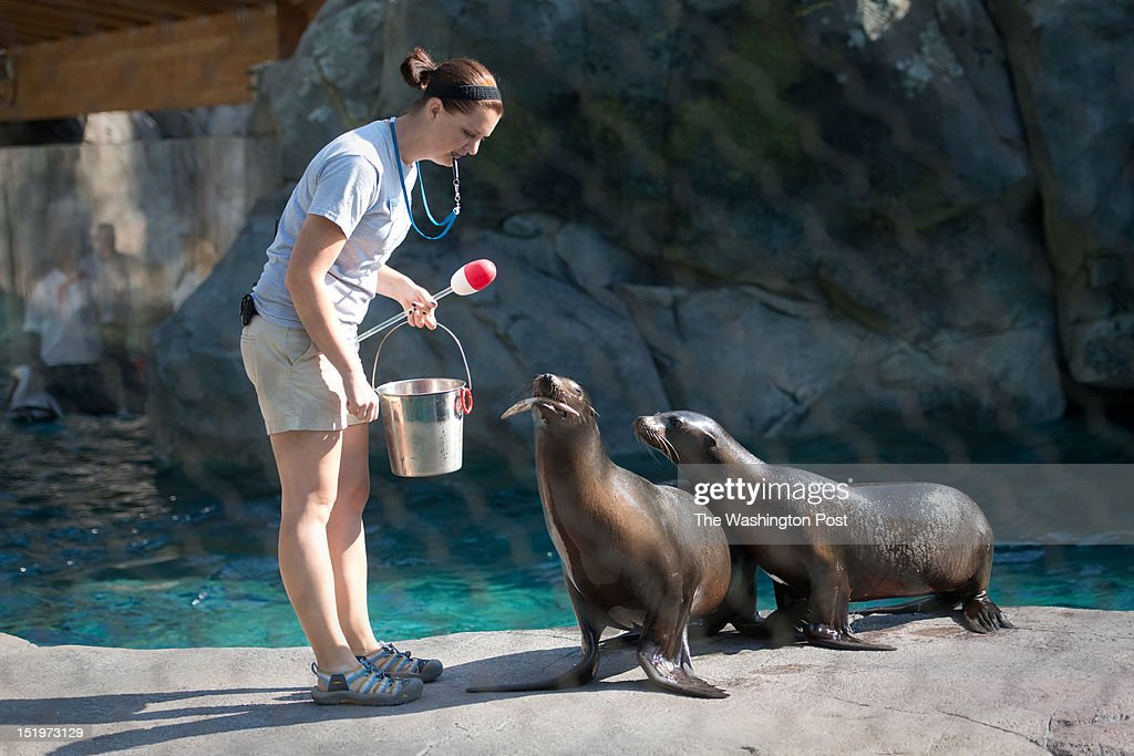 Chelsea Grubb, American Trail Keeper, feeds two california sea lions. The Smithsonian National Zoological Park opens the New American Trail Exhibit to the public on Saturday Sept 1. The exhibit has been planning and constructing the area for five years. One aspect of the exhibit is a 300,000-gallon sea lion pool.