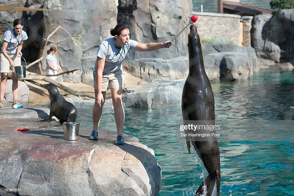 Chelsea Grubb, right, American Trail Keeper works with a california sea lions. The Smithsonian National Zoological Park opens the New American Trail Exhibit to the public on Saturday Sept 1. The exhibit has been planning and constructing the area for five years. One aspect of the exhibit is a 300,000-gallon sea lion pool.