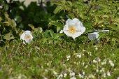 Cherokee rose blossoms / Rosa laevigata