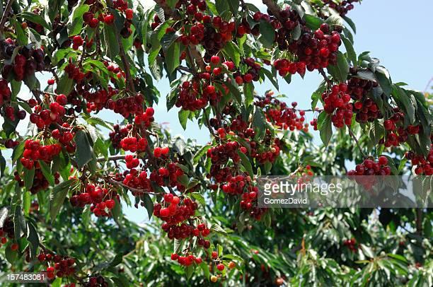 Cherries Ripening On Tree
