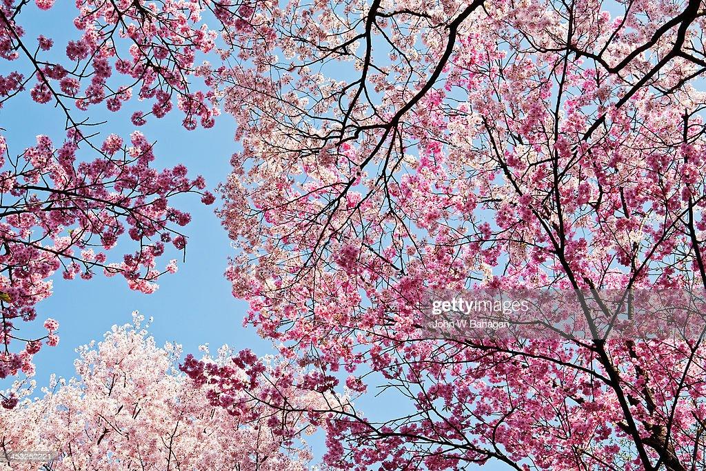 Cherry blosom trees,Tokyo : Stock Photo