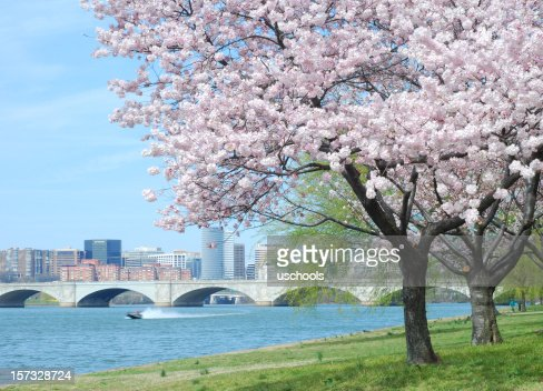 Cherry Blossom and Arlington Memorial Bridge