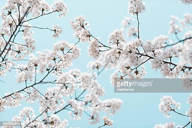 Cherry Blossom and Blue Sky, Yeouido Park, Seoul, South Korea