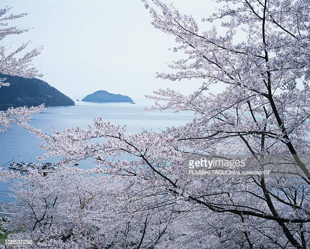 Cherry Blossom and Islands in the Sea
