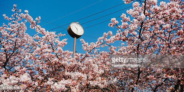 Cherry blossom and street clock