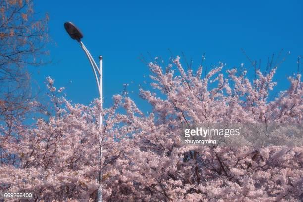 Cherry blossom and Street Light