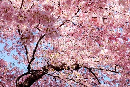 Sfondo fiore di ciliegio foto stock thinkstock for Sakura albero