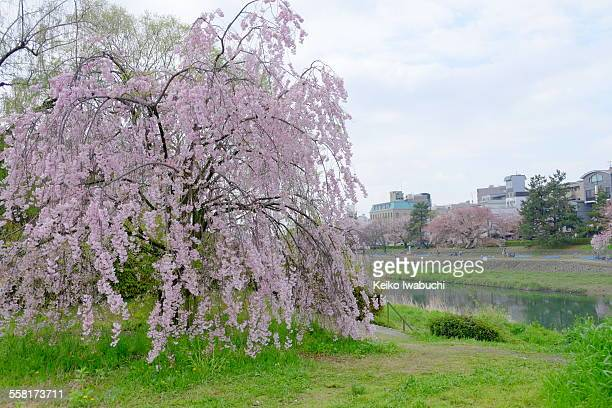 Cherry blossom beside Kamogawa river in Kyoto