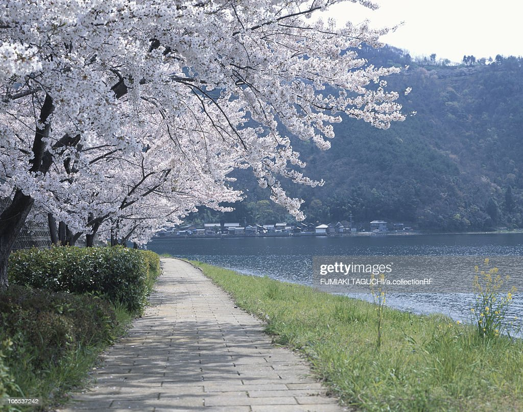 Cherry Blossom Blooming By the Lake