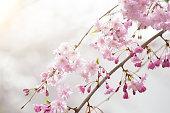 Cherry blossom (Sakura) branch and tree.