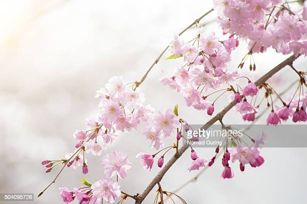 Cherry blossom (Sakura) branch and tree.