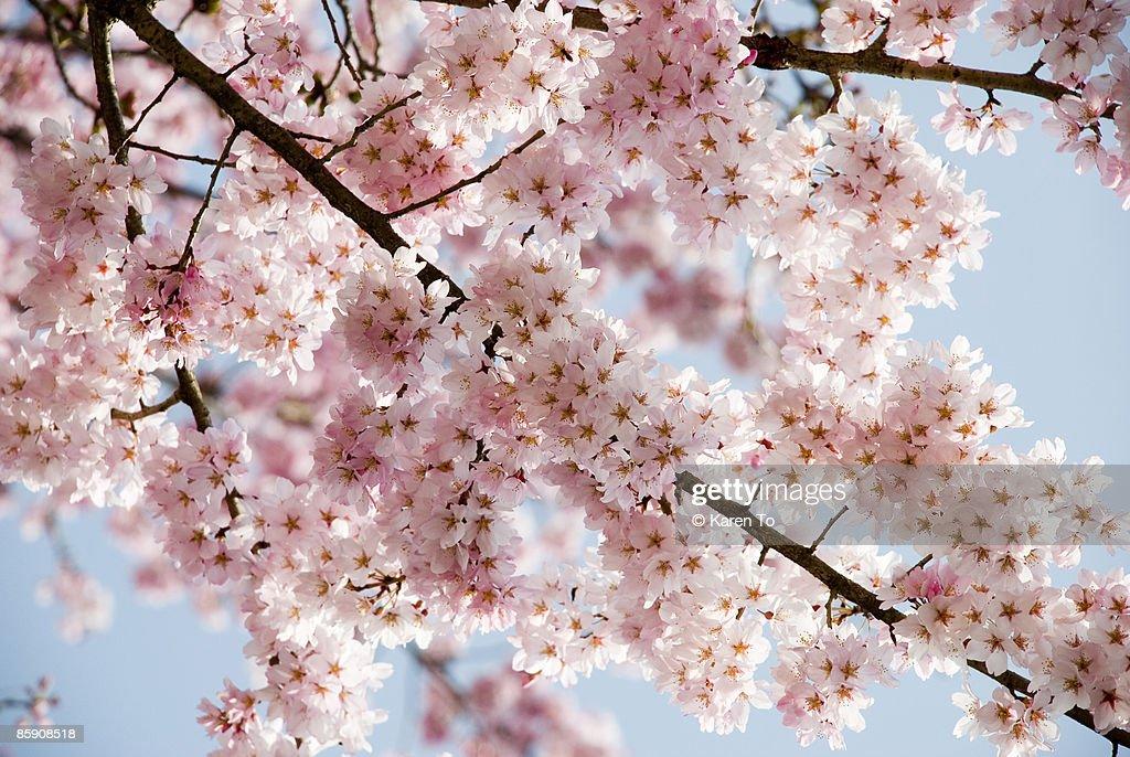 Cherry blossom canopy : Stock Photo