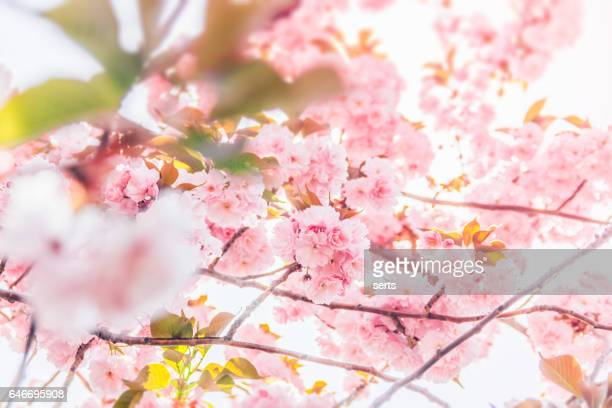 Cherry blossom flowers and sunshine