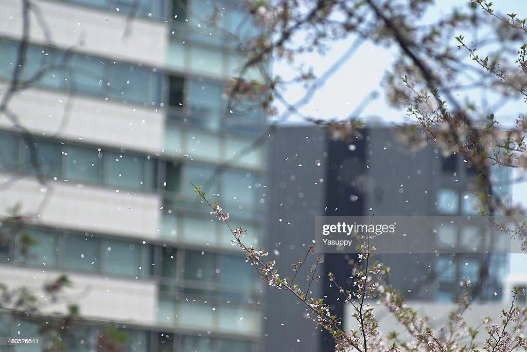 Cherry blossom Bild : Stock-Foto