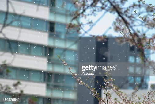 Cherry blossom Image : Stock Photo
