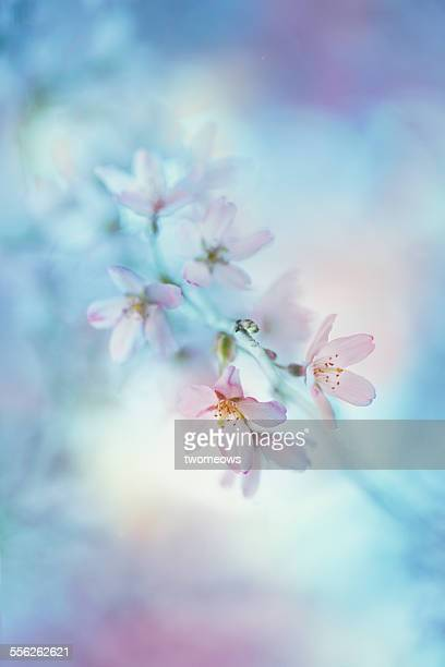 Cherry Blossom in fine art impression. Close-up.