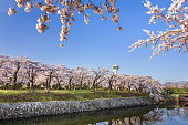 The cherry blossoms in Hokkaido bloom when the snow melts