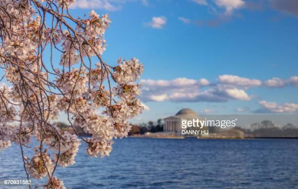 cherry blossom in jefferson memorial park