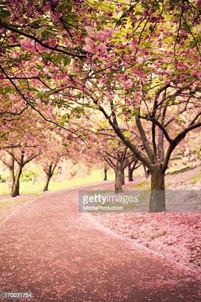 Flor de cerejeira na Newyork