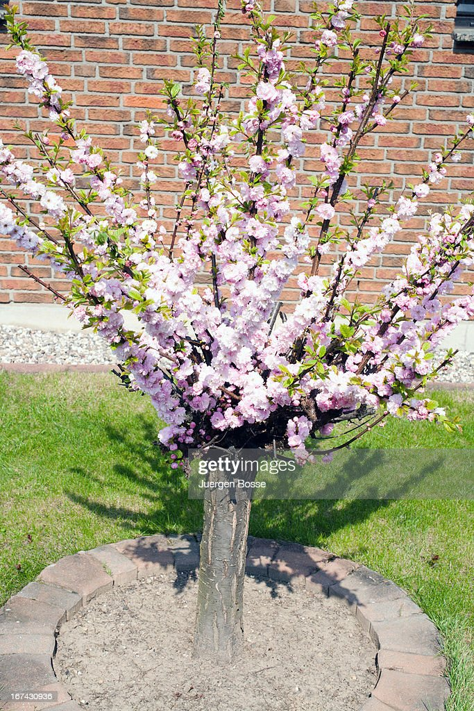 Cherry blossom in spring : Stock Photo