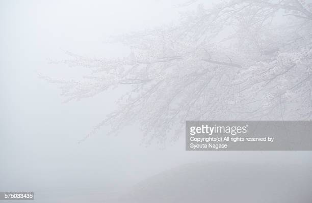 Cherry blossom in the fog