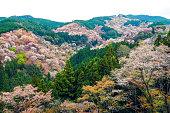 Cherry Blossom in Yoshinoyama