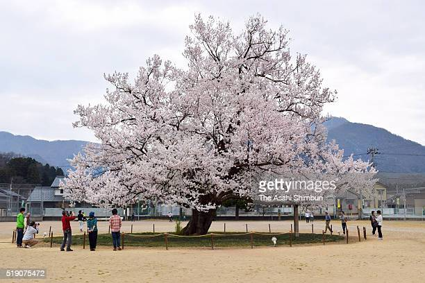 A cherry blossom is in full bloom at the field of Ajimano Elementary School on April 3 2016 in Echizen Fukui Japan